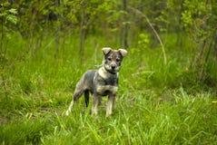 Ciekawy szczeniak pies na spacerze Obraz Royalty Free