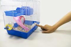 ciekawy szczura Obrazy Royalty Free