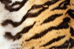 Ciekawy tygrysi futerkowy szczegół Obraz Royalty Free