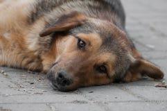 Ciekawy włóczęgi pies odpoczywa patrzeć naprzód Zdjęcie Stock