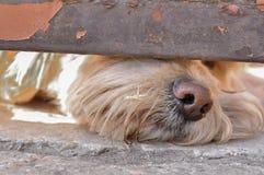 Ciekawy widok Pies k?ama pod drzwi i spojrzenia zabawny pies ?mieszni zwierz?ta domowe fotografia stock