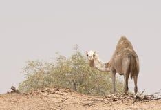 Ciekawy wielbłąd Fotografia Royalty Free
