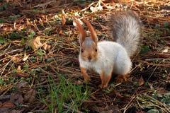 Ciekawy wiewiórczy patrzejący kamerę Zdjęcia Royalty Free