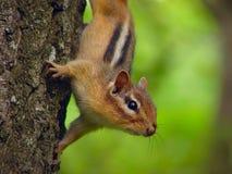 ciekawy wiewiórka obrazy stock