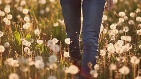Cieki dziewczyny odprowadzenia na polu z dandelions przy zmierzchem zbiory