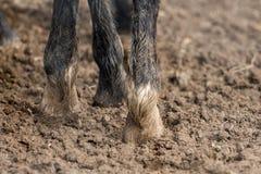 Cieki konie stoi w mokrym brudzie Fotografia Stock