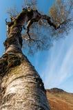 Ciel émouvant d'arbre Images libres de droits
