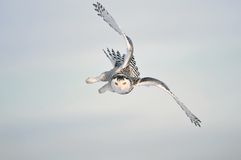 Ciel blanc de l'hiver avec le vol de hibou de Milou Photos libres de droits