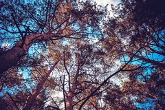 Ciel bleu évident par les couronnes des arbres Images stock