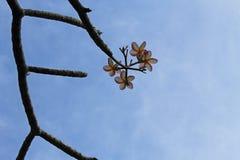 Ciel bleu, arbre d'A avec ses fleurs image stock