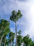 Ciel bleu, Aspen Trees et auvent Photographie stock