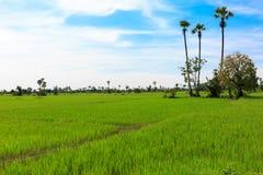 Ciel bleu au-dessus de Paddy Field Makes It vert un beau paysage Photographie stock