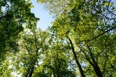 Ciel bleu au-dessus des arbres Image stock
