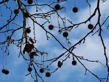 Ciel bleu avec l'arbre de ressort et les graines comme une boule photo libre de droits
