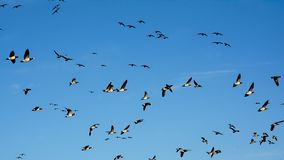 Ciel bleu complètement de canadensis de Branta d'oies en vol - Images stock