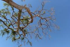 Ciel bleu d'arbre et d'espace libre Images libres de droits