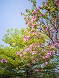 Ciel bleu de bauhinia vert d'arbres Photographie stock libre de droits