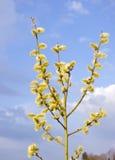 Ciel bleu de floraison de branchement d'arbre de chatons au printemps Photographie stock libre de droits