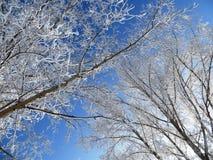 Ciel bleu de fond blanc d'arbres d'hiver Photos libres de droits
