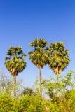 Ciel bleu de palmier à sucre Photographie stock