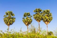 Ciel bleu de palmier à sucre Photo libre de droits