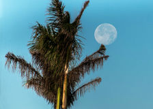 Ciel bleu de palmier de pleine lune Image libre de droits
