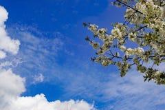 Ciel bleu de papier peint avec des fleurs de cerisier Image stock