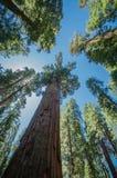 Ciel bleu de séquoia Photos stock