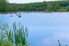 Ciel bleu et secteur marécageux, lac de marécage, étang naturel envahi avec la végétation Photo libre de droits