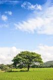 Ciel bleu gentil et le grand arbre isolé Photos stock