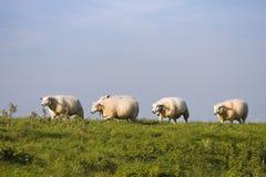 Ciel bleu, herbe verte, mouton dans une ligne Photo stock