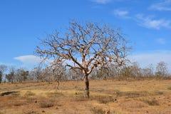Ciel bleu, nuages et arbre sans feuilles Photographie stock