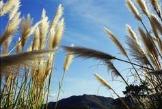 Ciel bleu par les transitoires d'or de blé Images stock