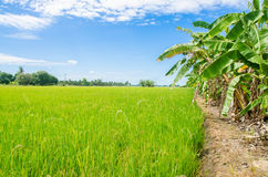 Ciel bleu piloté de riz Photographie stock