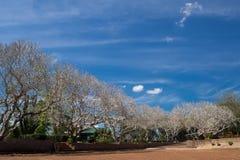 Ciel bleu sec d'arbre et d'espace libre de Plumeria au parc public en Thaïlande Images libres de droits