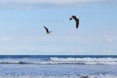 Ciel bleu volant de mer de mouette du fond deux Image stock