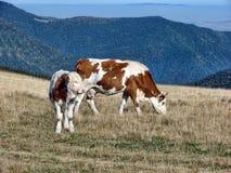 Cielęcina i krowa Fotografia Royalty Free