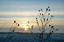 Ciel d'hiver au coucher du soleil avec la silhouette du plan rapproché d'herbe Photo stock