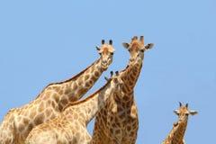 Ciel de bleus layette de famille de girafe, Afrique Photos stock