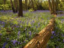 Ciel de jacinthe des bois Photographie stock