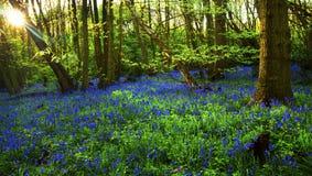 Ciel de jacinthe des bois Photos stock