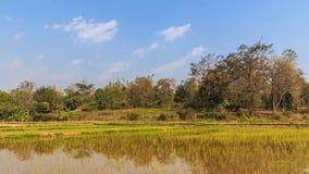 Ciel de jeunes plantes de riz avec de petits nuages Photos stock