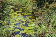 Ciel de libellule - une piscine avec des roseaux et des lis où beaucoup de libellules peuvent être vues, en vallée de Combe, le S photographie stock