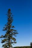 Ciel de Maine Fir Rising Into Blue image stock
