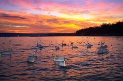 Ciel et cygnes spectaculaires de coucher du soleil Images libres de droits