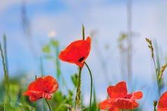 Ciel floral d'herbe de pavots de fond Images libres de droits