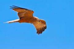 ciel noir de cerf-volant de vol d'oiseau Photo stock