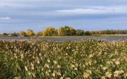 Ciel nuageux bleu et roseaux jaunes verts d'american national standard au-dessus de la rivière images stock