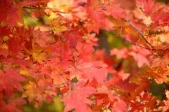 Ciel par les feuilles d'automne rouges Images stock
