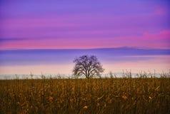 Ciel pourpre et un arbre dans le midle d'un champ de maïs photographie stock libre de droits